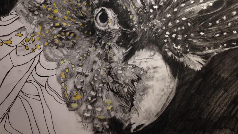 Kathryn Lewis, Yellow-Tailed Cockatoo. Carbon and pencil on 200gsm Bristol smooth paper, 72 x 52cm.